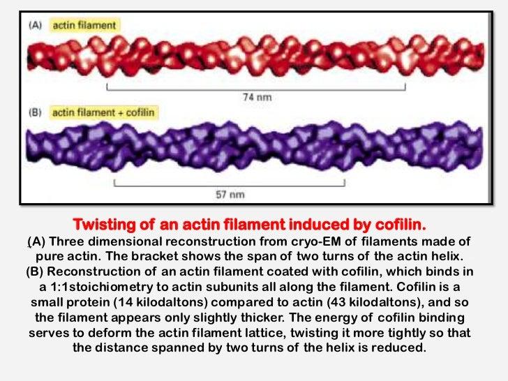 Microfilaments and intermediate filaments