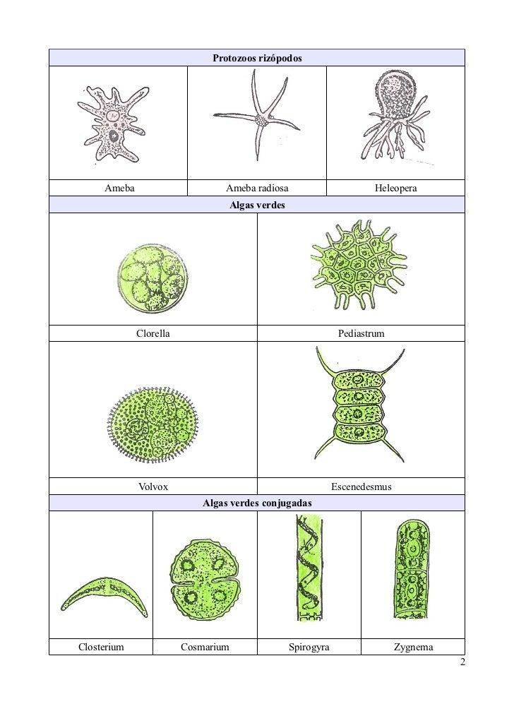 Microorganismos protoctistas observables en una muestra de ...