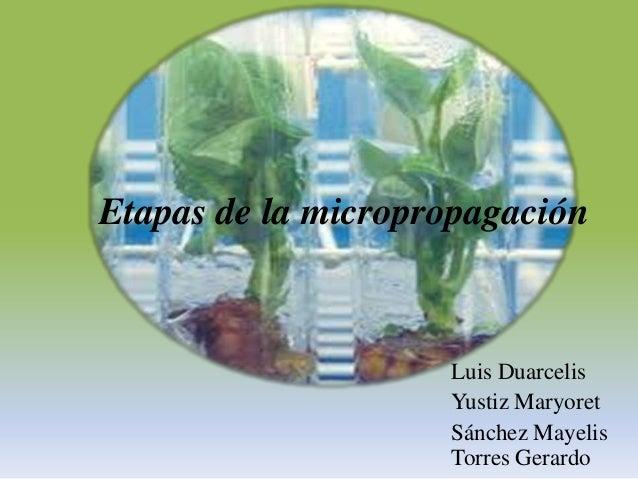 Etapas de la micropropagación                    Luis Duarcelis                    Yustiz Maryoret                    Sánc...