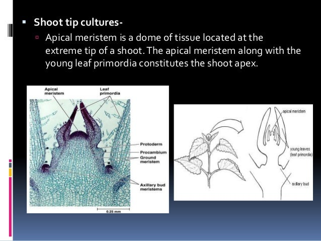  Shoot tip cultures-  Apical meristem is a dome of tissue located at the extreme tip of a shoot.The apical meristem alon...