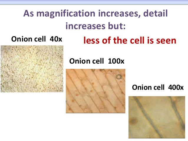 Onion cell 40x labeled diagram application wiring diagram microscope rh pt slideshare net onion cell labeled chloroplast diagram onion cell drawing answers ccuart Choice Image