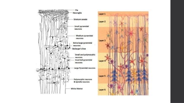 Microscopic anatomy of cerebral cortex