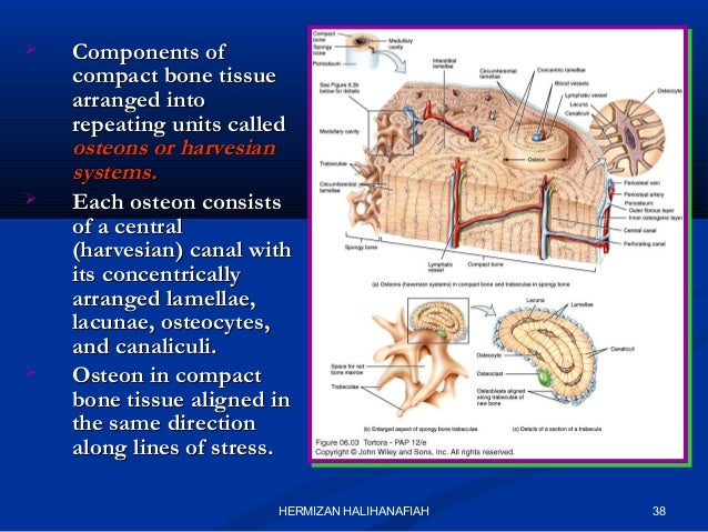 Macroscopic Microscopic Structure Of Skeletal System