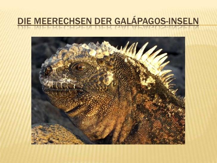 Die Meerechsen der Galápagos-Inseln<br />