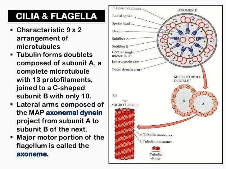 Microtubules And Molecular Motors