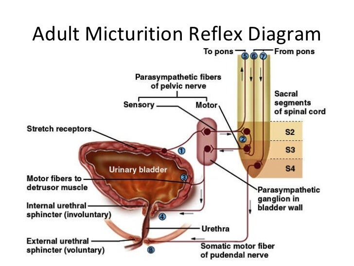 Micturation reflex by Dr Irum