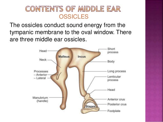 Middle ear by drhit 38 ccuart Choice Image