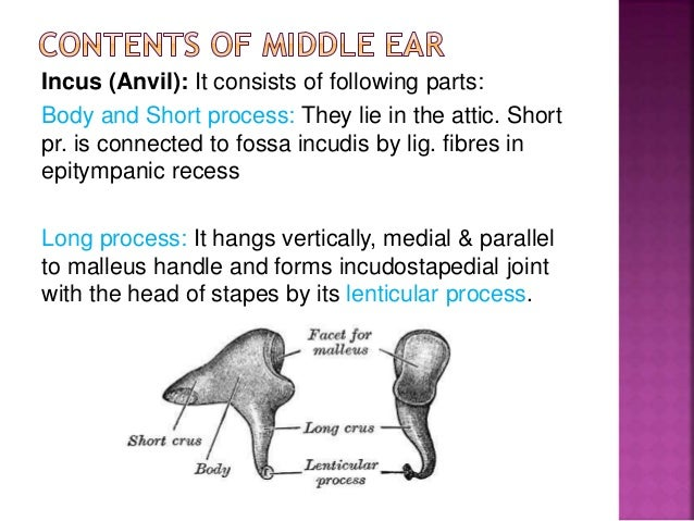 Middle ear by drhit 41 ccuart Choice Image