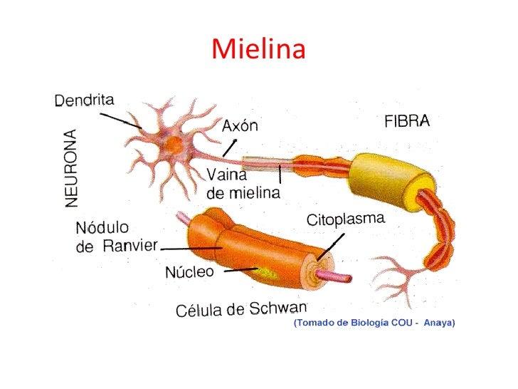 Resultado de imagen de La aparición de la mielina