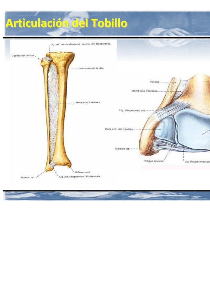 Anatomia Miembro inferior