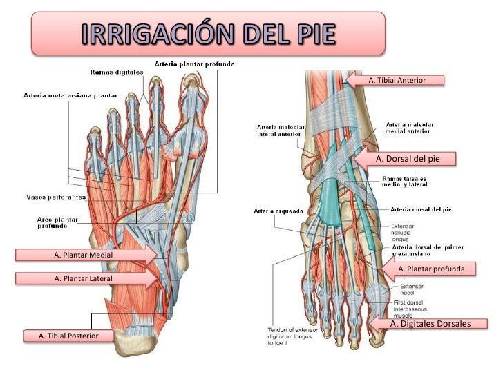 Magnífico Anatomía Nervio Obturador Componente - Anatomía de Las ...