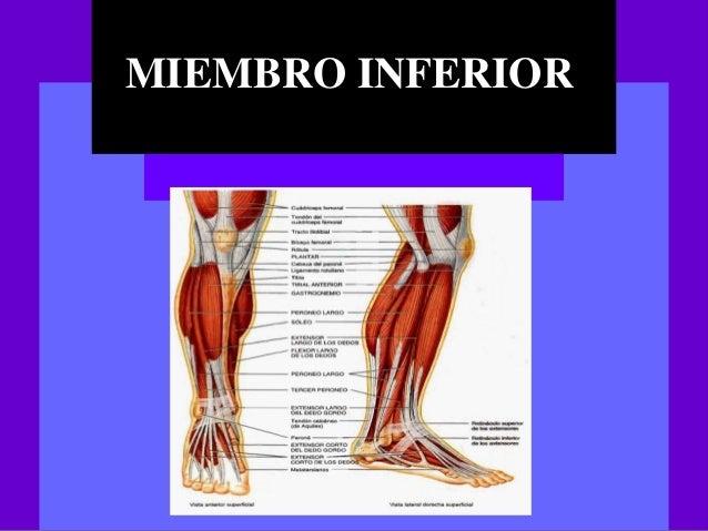 Musculos del Miembro inferior - Anatomia General