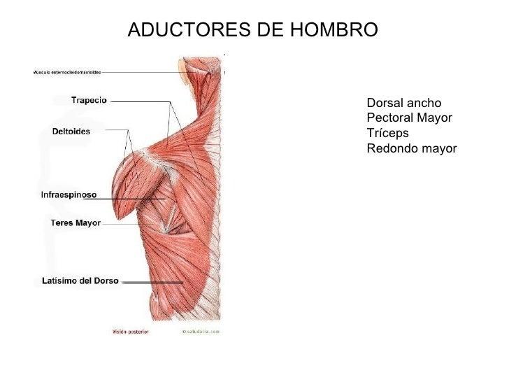 Moderno Los Músculos Del Brazo Del Hombro Friso - Anatomía de Las ...