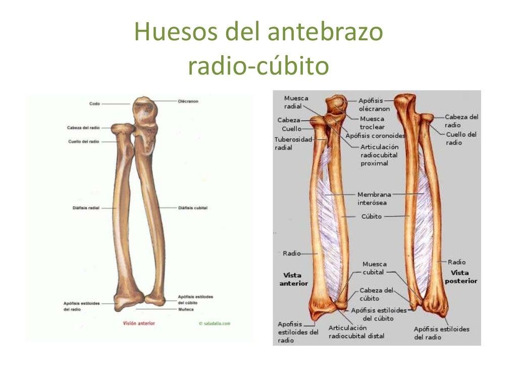 Magnífico Radio Vs Cúbito Cresta - Anatomía de Las Imágenesdel ...