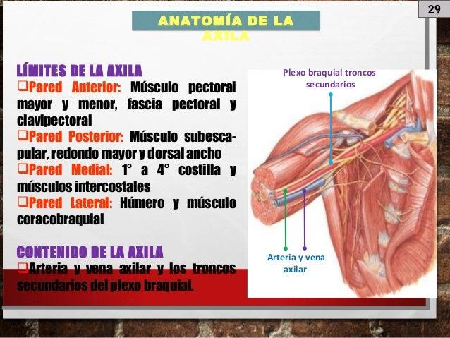 Anatomia de Miembro superior