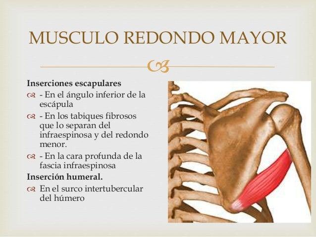 Músculos del miembro superior y mango rotador