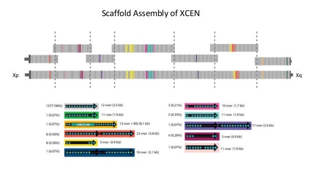 XqXp Rel3 Assembly: ~3.1 Mb The assembly is a hypothesis(!)