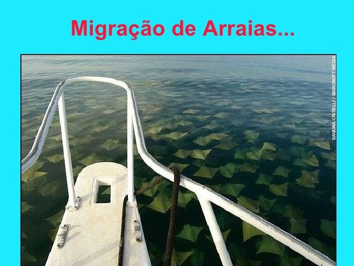 Migraç ã o de Arraias...