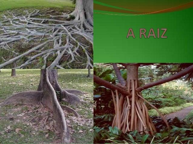 FUNÇÕES DA RAIZ Função mecânica - fixa a planta ao solo ou a um suporte; Função fisiológica- através dos pêlos absorvent...