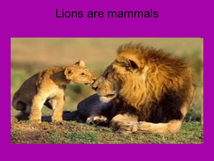 Lions are mammals