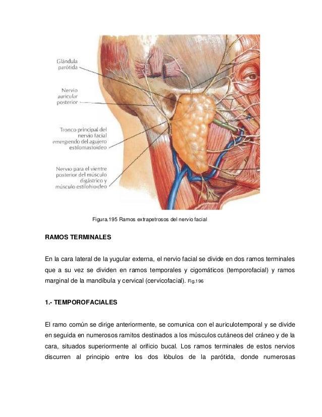 Único Anatomía Del Nervio Facial Patrón - Imágenes de Anatomía ...