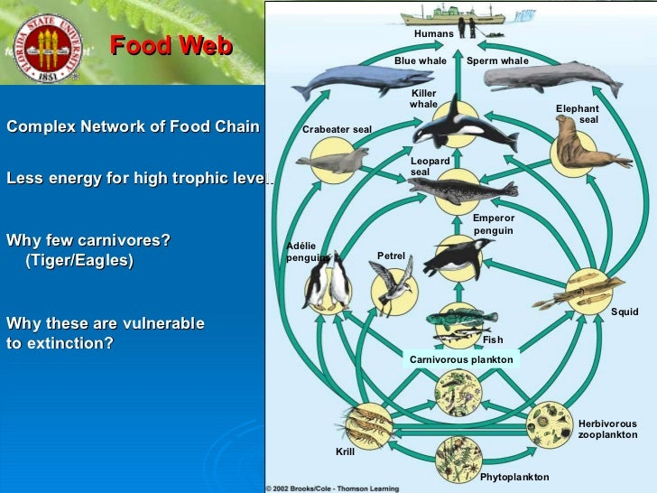 emperor penguin food chain - photo #30