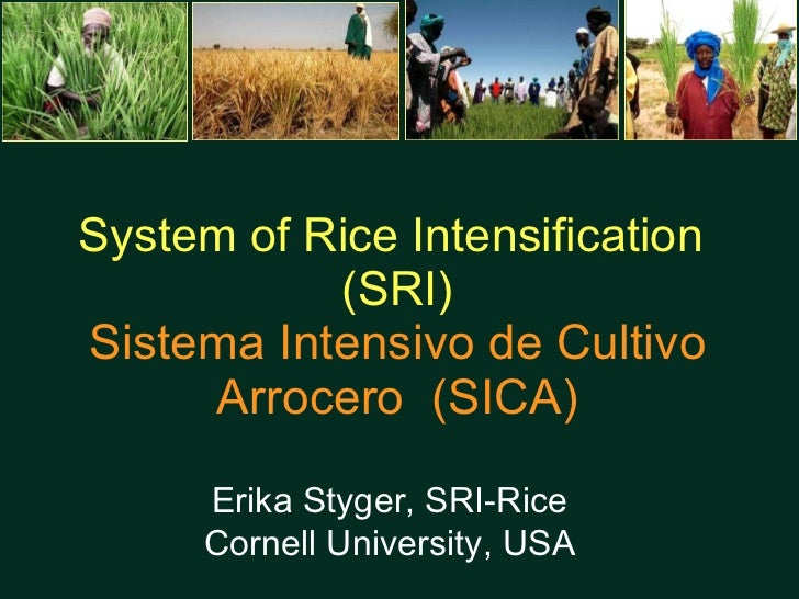 System of Rice Intensification  (SRI) Sistema Intensivo de Cultivo Arrocero  (SICA) Erika Styger, SRI-Rice Cornell Univers...