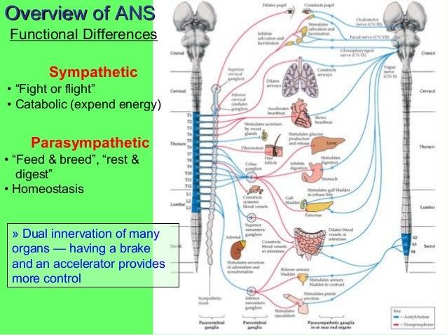 Autonomic nervous system visceral reflex arc ccuart Gallery