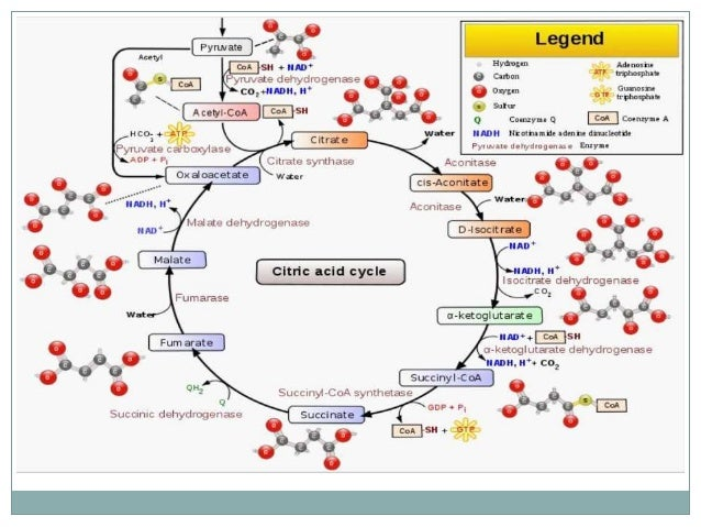 Diagram Citric Acid Cycle Central Online Schematic Diagram