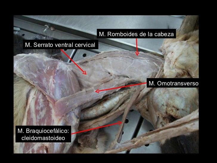 Miología de cuello