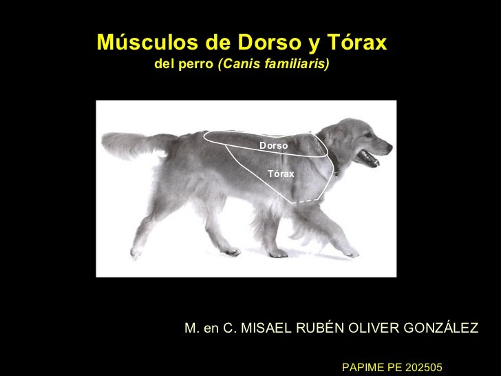 Músculos de Dorso y Tórax del perro  (Canis familiaris) M. en C. MISAEL RUBÉN OLIVER GONZÁLEZ Dorso Tórax PAPIME PE 202505