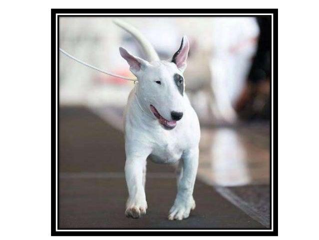 Q Es Un Bull Terrier El Bull Terrier es un