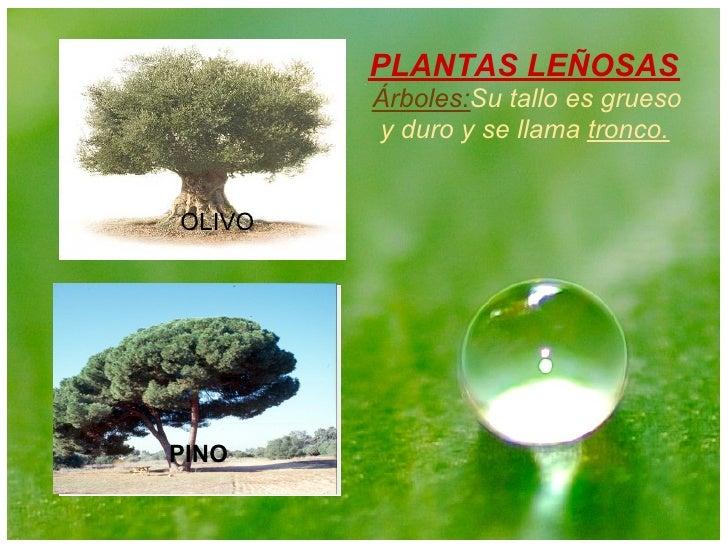 Mi presentacion plantas for Tipos de arboles y caracteristicas