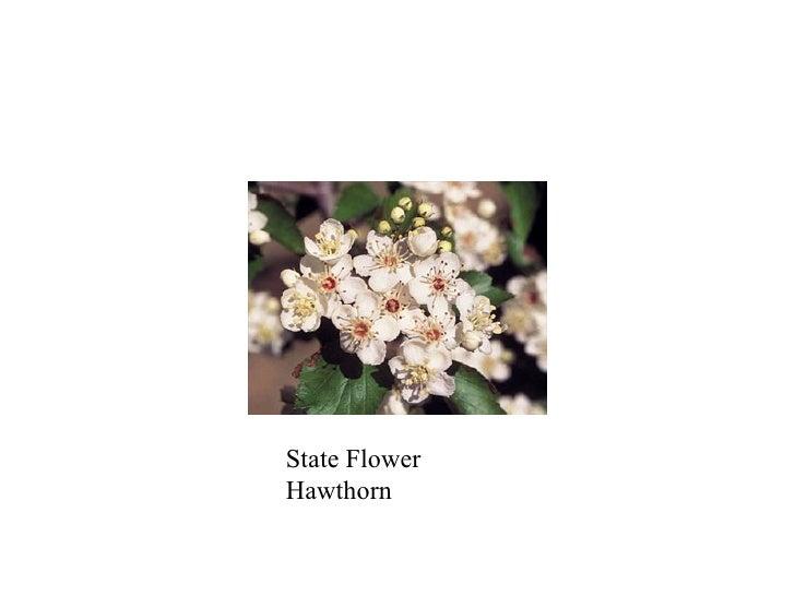 State Flower Hawthorn
