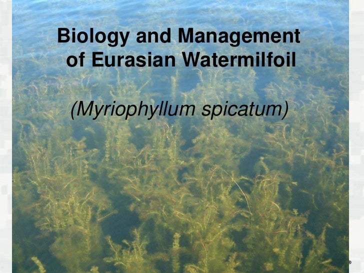 Biology and Management of Eurasian Watermilfoil (Myriophyllum spicatum)             1         BUILDING STRONG®