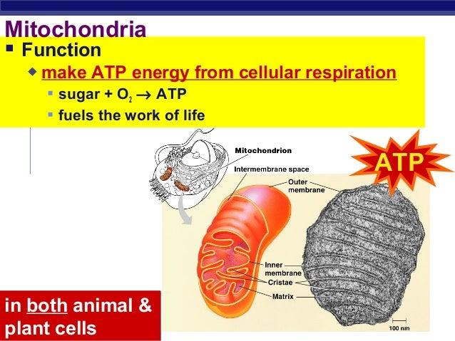 Chloroplast and Mitochondria