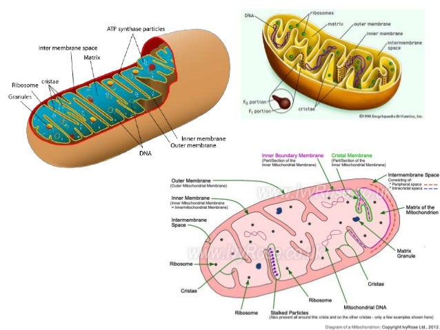 structure and function of mitochondria Structures of eukaryotic cells and their functions  typical animal cell  i membrane-bound organelles structure description & function  mitochondria sacs.