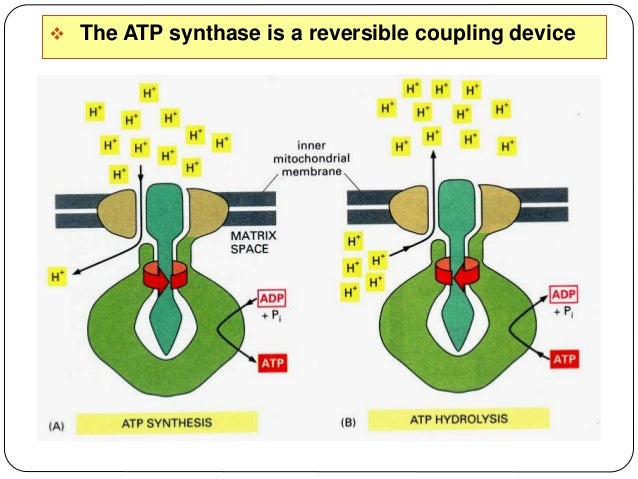 17  Although the primary function of mitochondria is to convert organic materials into cellular energy in the form of ATP...