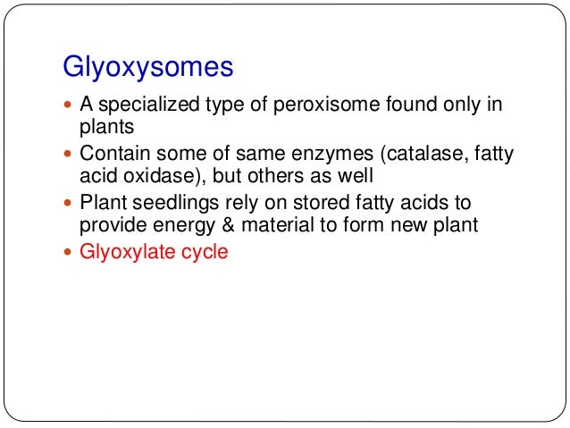 Glyoxysomes  A primary metabolic activity in these germinating seedlings is the conversion of stored fatty acids to carbo...