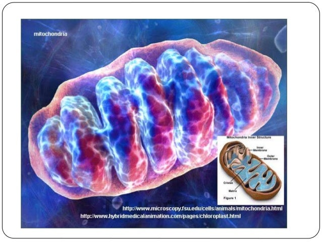 5 Mitochondria The organelle that releases energy in the cell. (The powerhouse of the cell) Mitochondria produce ATP using...