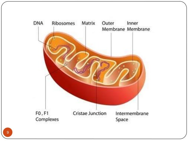 Function 10  Mitochondria are the site of most of the energy production in eukaryotic cells.  They use complex molecules...