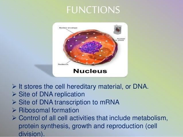 mitochondria & nucleus, Human Body