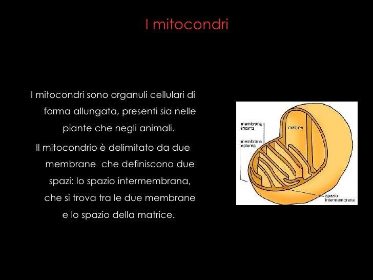 I mitocondri <ul><li>I mitocondri sono organuli cellulari di forma allungata, presenti sia nelle piante che negli animali....