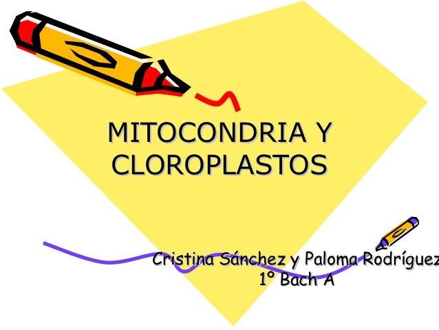 MITOCONDRIA YCLOROPLASTOS  Cristina Sánchez y Paloma Rodríguez               1º Bach A
