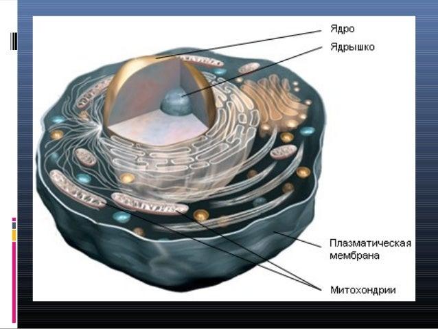 Mitochondria and oxidative stress Slide 2