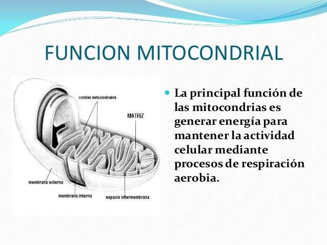 Mitondrias