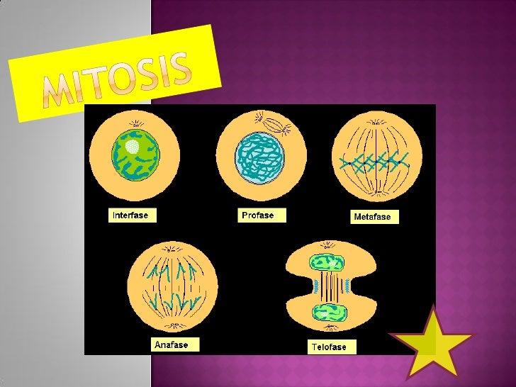  La  mitosis consiste en que la célula madre es     diploide.    Ésta se divide en dos células, llamadas células     hij...