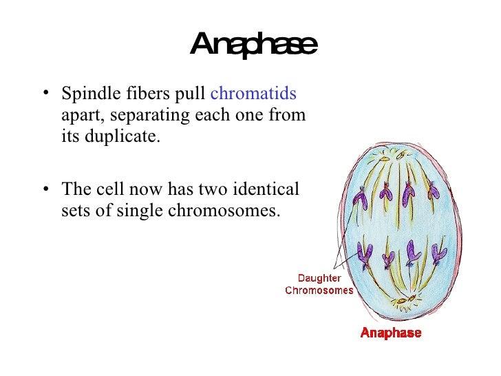 Anaphase <ul><li>Spindle fibers pull  chromatids  apart, separating each one from its duplicate. </li></ul><ul><li>The cel...