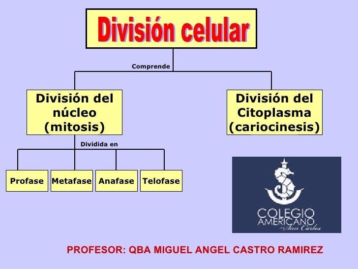 División celular División del núcleo (mitosis) División del Citoplasma (cariocinesis) Profase Metafase Anafase Telofase Co...