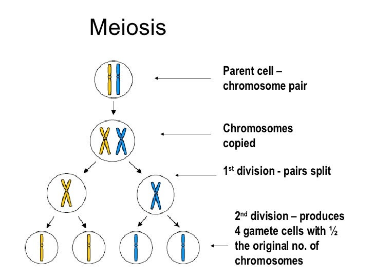 following chromosomal dna movement procedure meiosis i Experiment 2: tracking chromosomal dna movement through mitosis  in this  experiment, you will follow the movement of chromosomes through mitosis to  create  repeat this process using 20 new beads (of a different color) to create  the.